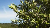тосканский : Green olives on tree during summer season, Chianti region near Florence, Tuscany. Italy. Стоковые видеозаписи