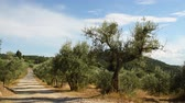 нефтяной : Olive trees and blue sky with white road in the Chianti region near Florence. Tuscany. Italy. Стоковые видеозаписи