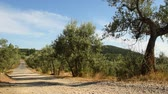 toscano : Olive trees and blue sky with white road in the Chianti region near Florence. Tuscany. Italy. Stock Footage