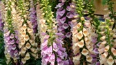 delicato : Primo piano di Fox Foxgloves (Digitalis Purpurea)