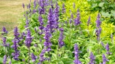 lavendel : Salvia-farinacea benth in tuin Stockvideo