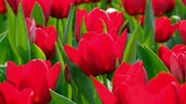 dorsz : Red tulips in the garden