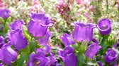 narin : Purple canterbury bells flowers Stok Video