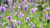fragil : Las flores de Lavandula multifida Archivo de Video
