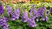 herbaceous : Delphinium,Candle Delphinium purple flowers blooming in the garden