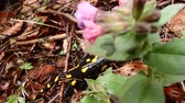 fire salamander : fire salamander (Salamandra salamandra) Stock Footage