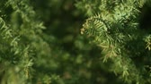 ladin : Decorative juniper bush on the site. Elastic green needles on the branches. Juniper closeup in the rays of the sun. Stok Video