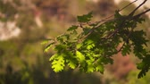 plantas : Green oak leaves on a sunny day. Oak leaves against the background of green forest. Stock Footage
