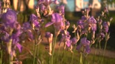 アイリス : Purple irises flowers in the sunset sun. Purple irises in a flower bed, the camera moves from right to left.