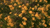 Green shrub blooming with yellow flowers in the sunset sun. Decorative bloom in natural sunlight yellow. 動画素材