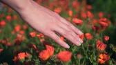 officinalis : Womans hand touches calendula flowers. The woman leads smoothly and gently with her hand over the tops of the calendula flowers. Colorful herbs grow in the garden.