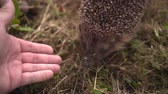 грызун : Hedgehog in the green grass walks and sniffs a mans hand. Hedgehog in the wild in the green grass reaches for the male hand. The nature of wild animals.