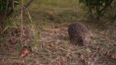 грызун : Hedgehog in the green grass walks. Hedgehog in the wild in green grass. The nature of wild animals.