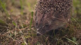 spiked : Hedgehog in the green grass walks. Hedgehog in the wild in green grass. The nature of wild animals.