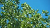 ahornbaum : The tops of the trees sway from the wind in the blue sky. The tops of the trees sway from the strong wind in the blue sky. Stock Footage