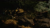 tigrinum : Tiger salamander in the terrarium of oceanarium exposition. Animal has conservation status
