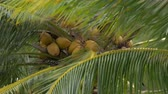 feixes : View of palm tree tops with many ripe coconuts swinging in strong wind