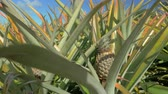 organic : Close up view of pineapple plants farm in summer season against clear blue sky, Mauritius Island