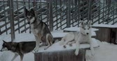 doghouse : Winter shot of two husky on kennel in open-air cage. One dog lying while another is on guard Stock Footage