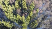 toboztermő fa : Aerial shot of forest with high evergreen fir trees and bare birches. Winter scene Stock mozgókép