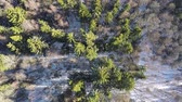 bare forest : Aerial scene of winter wood with view to the tops of green fir trees and bare birches Stock Footage