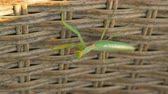 vime : Close-up shot of praying mantis on wicker fencing Stock Footage