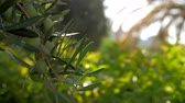 地中海 : Slow motion close-up shot of tree branch with unripe olives on background of green garden being watered