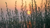 güneş : Golden evening sun over water, view through the grass. Scenery at sunset