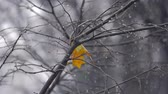 final : Slow motion shot of light snow falling outside. Bare tree with the only yellow leaf left and water drops on the branches. Dull grey autumn Stock Footage