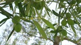 baixo ângulo : Close-up low angle shot of twig with green olives on the background of big tree and sky Stock Footage