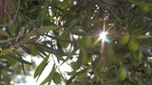 sunbeams : Close-up shot of green olive tree branch with sun rays striking through the leaves