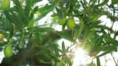 fruit vegetables : Close-up shot of tree with green olives, sunbeam striking through the branches and leaves. Scene in Mediterranean garden Stock Footage