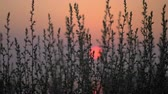 çevre : Nature scene in the evening. View through the grass to red sunset Stok Video