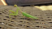 mantis religiosa : Close-up shot of praying mantis insect sitting on wicker chair outdoor Archivo de Video