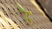 mantis religiosa : Close-up shot of praying mantis sitting on wicker chair outdoor