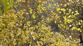 A slow motion of colorful autumn leaves falling from the bright yellow tree crowns. Some leaves and tree branches are slightly covered with snow