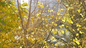 11월 : Slow motion shot of few leaves falling down from yellow autumn tree covered with first snow 무비클립