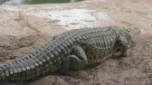 crocodilo : Massive crocodile walking and lying on the ground Stock Footage