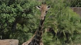 zoo : Giraffe against green trees near the pond in the zoo Stock Footage