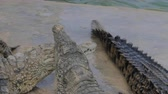 krokodil : Huge crocodiles are moving around each other while eating meat being thrown to them. One of the crocodiles is climbing over another, holding a big piece in its jaws