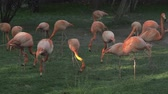 フラミンゴ : Group of flamingos searching for food in the grass 動画素材