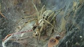 funil : Yellow funnel web spider atrting to eat its prey, a locust