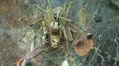 funil : Yellow funnel web spider eating a locust
