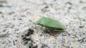 シールド : Green shield beetle on cement