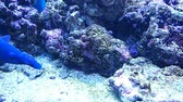 泳ぐ : Some reef fish swimming 動画素材