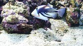 魚類 : One reef fish swimming