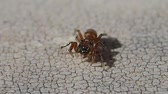 животные : Little brown jumping spider moving