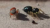 pókféle : Two jumping spiders on a sticky surface