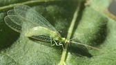 昆虫 : Green insect on a leaf