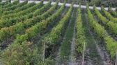 vegetal : Rows of vines in a field in the winery grounds Vídeos
